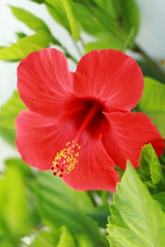 Hibiscus-Rich-in-Antioxidants
