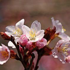 Blossoms Bouquet - Guelph Ontario Canada #art #photography #flowers #cherryblossoms #spring #nature #naturelovers #artforsale #decor