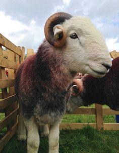 A handsome Herdwick tup. =) #herdy #herdwick #sheep #lakedistrict