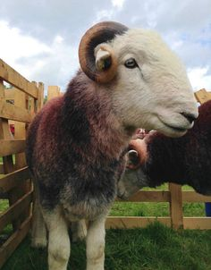 A handsome Herdwick tup.
