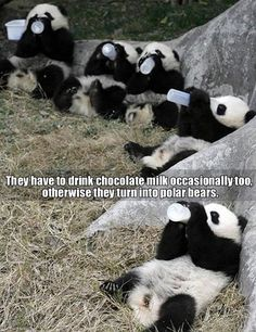 5 Funny Pictures Today! #1 cute pandas drinking baby bottle