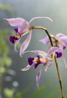 Orchid/Laelia anceps Lindl. by nobuflickr, via Flickr