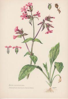 1950's Botanical Print Silene dioica by AntiquePrintGarden on Etsy