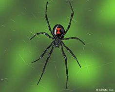 Black widow facts reveal the general information and surprising habit of this animal. Have you seen this spider before? Spiders And Snakes, Beaded Spiders, Common Spiders, Reptiles, Mammals, Black Widow Spider, Itsy Bitsy Spider, Health Images, Veneno