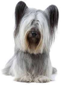 Meet the Dogs that are rarer than Giant Pandas - the Skye Terrier. This is what I have! Bently Boo