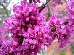 Red Bud Trees - I planted 10 of you at Pleasant Ridge. Three of you survived! Growing Gardens, Small Gardens, Outdoor Gardens, Garden Shrubs, Flowering Shrubs, Judas Tree, Spring Tree, Indoor Flowers, Herbaceous Perennials