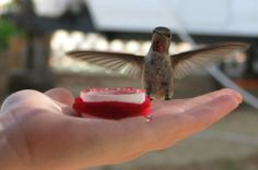 Feeding Hummingbirds by Hand:  You'll get a real thrill when you learn the five steps to feeding hummingbirds by hand! birdsandblooms.com