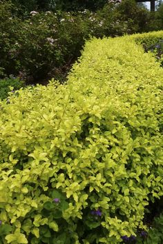 How did a ligustrum make it into the Sunset Collection? We are always on the lookout for easy care, colorful, water-wise, non invasive garden solutions. Sunshine Ligustrum, Garden Solutions, Golden Flower, Water Wise, Yard Landscaping, Landscaping Ideas, Dream Garden, Hedges, Curb Appeal