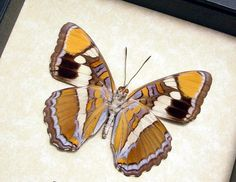 California Sister Limentis Bredowii Real Butterfly