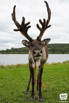 Curious reindeer in Rovaniemi, Old Square Market Carnival 2013.