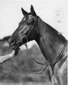 Head study of one of Phar Lap's great rivals and champion in his own right, Amounis. A huge betting plunge on Amounis winning the 1930 Caulfield Cup and Phar Lap the Melbourne Cup was the catalyst for the shooting attempt on Phar Lap's life after which he was secretly whisked away to St Alban's Stud near Geelong for protection until Cup Day.