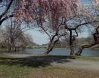 Cherry Blossoms at Branch Brook Park in Essex County