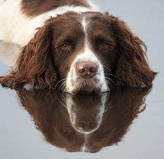 Announcing the Orvis Cover Dog Winners - Orvis News Springer Spaniel Puppies, English Springer Spaniel, Spaniel Dog, Beautiful Dogs, Animals Beautiful, Cute Animals, Chien Springer, I Love Dogs, Cute Dogs
