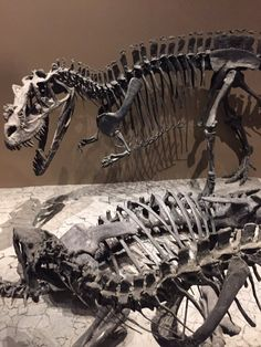 Ceratosaurus.