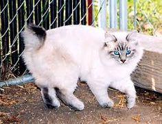 Afbeeldingsresultaat voor kattenrassen siamees