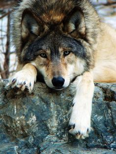 STOP KILLING WOLVES !!!!!!!