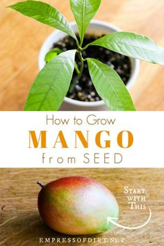 Grow Mango from Seed Grow your own mango from seed using a grocery store mango and this step-by-step tutorial.Grow your own mango from seed using a grocery store mango and this step-by-step tutorial. Growing Fruit Trees, Growing Seeds, Growing Plants, Dwarf Fruit Trees, Home Vegetable Garden, Fruit Garden, Garden Seeds, Garden Plants, Indoor Garden
