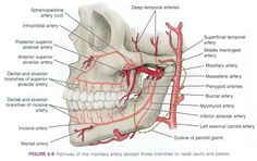 superior labial artery - Google Search