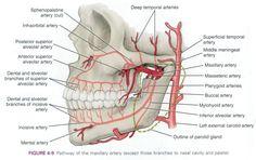 superior labial artery - Google Search