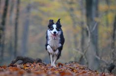Autumn, Dog, Running Dog, Forest, Leaves, Nature
