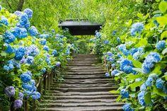 鮮やかに咲き誇るブルーの世界!「明月院」のあじさいの絶景は何度見ても美しい
