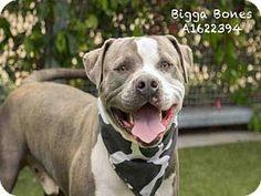 5/16/2016***Los Angeles, CA - Pit Bull Terrier. Meet BIGGA BONES, a dog for adoption. http://www.adoptapet.com/pet/15356903-los-angeles-california-pit-bull-terrier