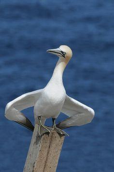 Northern Gannet,  Australia