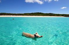 Hey, if I was a piglet living here, I'd take a dip everyday. Staniel Cay in the Exuma Cays, Bahamas.