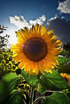 Wow, what a perfect sunflower! I love how the sun is coming from behind the field of flowers in this photo it makes for a more interesting and different look.
