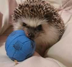 I just want to share my picture of my #Hedgehog Grum. He loves his soccer ball, and if you try and take it away, he will play Tug O' War.