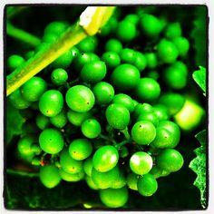 "Il nostro Pinot Nero cresce... #roncocalino #franciacorta #vino #wine #italianwine #sparklingwine #grapes #uva #vineyards #vine #vigneti #pinotnero #pinotnoir #instapic #instawine #winelovers #lovewine #winepic #like #love #pic #picoftheday #photooftheday #green #nature #instalove #italy #italia"""