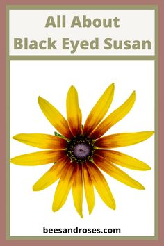 Let Bees And Roses teach you all about the black eyed susan. This plant guide provides infor for grow zones, water and sun needs, size and more. Read on to learn why you might consider this plant for your garden. #flowergarden #gardening #beesandroses #plantguide #blackeyedsusan Best Perennials, Flowers Perennials, Planting Flowers, Flower Gardening, Cottage Garden Design, Cottage Garden Plants, Cottage Gardens, Perennial Grasses, Plant Guide