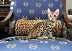 Beautiful Rosetted Bengal Female Kitten – Amazing ROSETTES! Cute Cats, Funny Cats, Toyger Cat, Asian Leopard Cat, Ocicat, How To Cat, Egyptian Mau, Spotted Cat, Oriental Cat