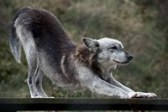 Wolf S-t-r-e-t-c-h by FurLined.deviantart.com on @deviantART