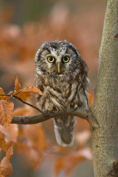 Tengmalm´s Owl by Milan Zygmunt, via 500px
