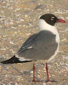Laughing Gull - Whatbird.com