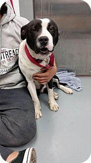 Mission, KS - Pit Bull Terrier. Meet Gimli, a dog for adoption. http://www.adoptapet.com/pet/15338619-mission-kansas-pit-bull-terrier