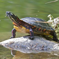 Eastern Painted Turtle. We have lots of these here in Minnesota. Even helped one across the road before !