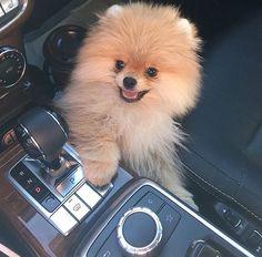 ᴀʟʟ ʏᴏᴜ g ᴛᴏ ᴅᴏ ɪs ғᴏʟʟᴏᴡ ᴍᴇ♥ 『ᴘιɴтᴇʀᴇѕт ➫ ᴍᴏʀᴇ ᴘɪɴs ʟɪᴋᴇ ᴛʜɪs ᴏɴᴇ✎ ᴀʟsᴏ ✘ᴅᴏɴ'ᴛ✘ ғᴏʀɢᴇᴛ ᴛᴏ ɢɪᴠᴇ ᴍᴇ ᴄʀᴇᴅɪᴛ ᴏɴ ᴍʏ ᴘɪɴs✌︎ Cute Fluffy Dogs, Cute Baby Dogs, Cute Little Puppies, Cute Dogs And Puppies, Cute Little Animals, Doggies, Spitz Pomeranian, Cute Pomeranian, Pomeranians