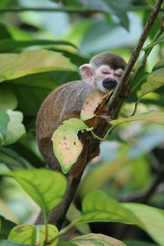 aquariusplanet: mistymorningme: 'Do Not Disturb' (by Lim Pei Yi) likes this ♥ baby squirrel monkey Primates, Mammals, Cute Baby Animals, Animals And Pets, Funny Animals, Beautiful Creatures, Animals Beautiful, Cute Monkey, Small Monkey