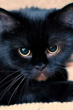 """Few animals display their mood via facial expressions as distinctly as a cat."" --Konrad Lorenz"