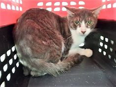 LEMONADE - 11475 - - Manhattan  *** TO BE DESTROYED 11/08/17 *** LEMONADE is a 1 yr old girl who was brought in as part of a hoarding case. She was covered in fleas.  Lemonade is a shy girl but would love a home of her own where she can get lots of TLC and love. -  Click for info & Current Status: http://nyccats.urgentpodr.org/lemonade-11475/