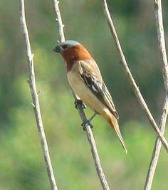Foto caboclinho-de-chapéu-cinzento (Sporophila cinnamomea) por Cal Martins   Wiki Aves - A Enciclopédia das Aves do Brasil