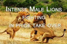 Lion Vs Lion - Intense fighting in pride takeover attempt CAUGHT IN THE ACT. Lion versus lion Intense action. Male Lions fighting when another male tries to take over the pride but is stopped by the Pride Male and all the females
