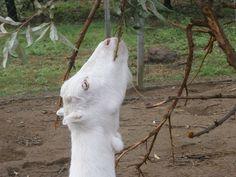 Gizus metszést is vállalt Goats, Animals, Animales, Animaux, Animal, Animais, Goat