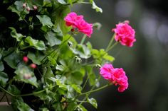 Most fiatalítsd meg a muskátlit! Party, Gardening, Lawn And Garden, Parties, Horticulture
