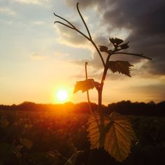 Le soleil se couche en #muscadet - #été par @domaineforgeau