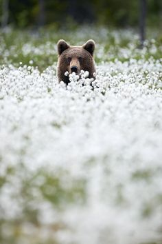 can you imagine. hangin out. in the forest. by some flowery field. then yogi pops up and poses all shy. awesome shot.