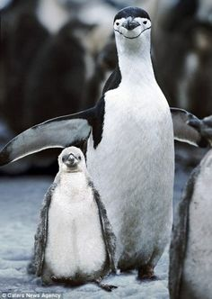 These two Penguins smile for the camera