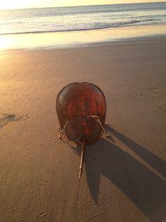 Tybee Island- Blue Horseshoe Crab shell